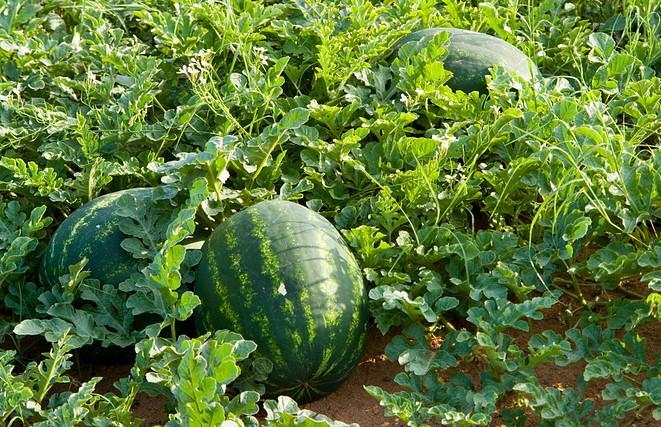 """أونسا.. فاكهة البطيخ الأحمر """"سليمة وخالية من الملوثات"""""""
