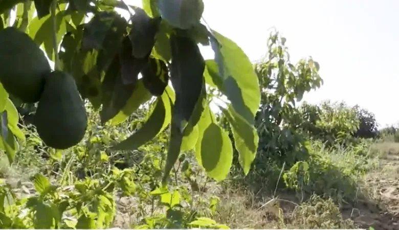 """إحتقان بعد تفويت أراضي سلالية لزراعة """"لافوكا"""" نواحي القنيطرة"""